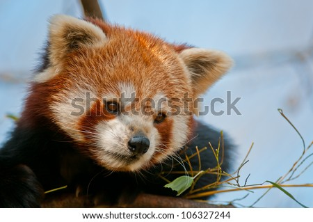 Red Panda Portrait - stock photo