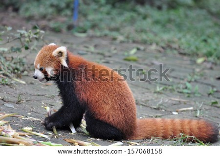 Red Panda (selective focus and shallow DOF) in zoo. - stock photo