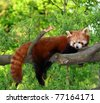 red panda,shining cat - stock photo