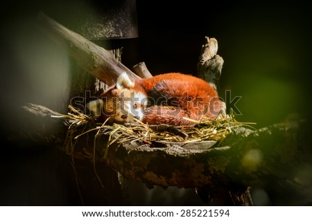 Red panda sleeping in a nest. Firefox in nature. - stock photo
