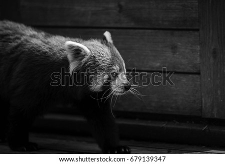 Red Panda walking into frame with a wooden background