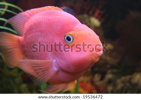 Red Parrot fish swimming in aquaria.