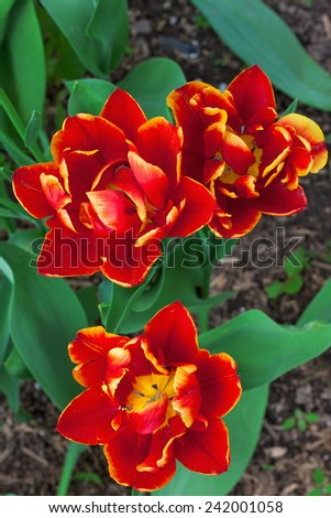 red parrot tulips in a garden  - stock photo