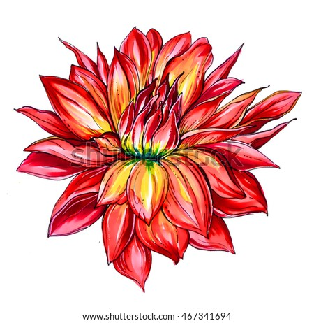 Red passion hawaiian dahlia flower blossom. Hand drawn watercolor tropical exotic flower isolated on white background. Botanical wedding vibrant illustration for print card, invitation, textile design