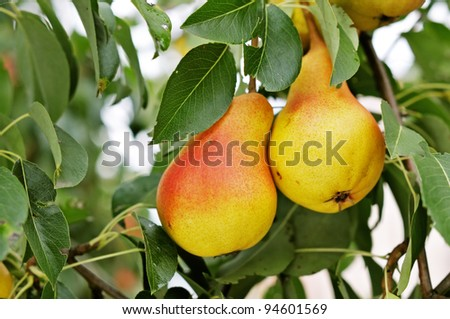 Red Pears on a background of green foliage.