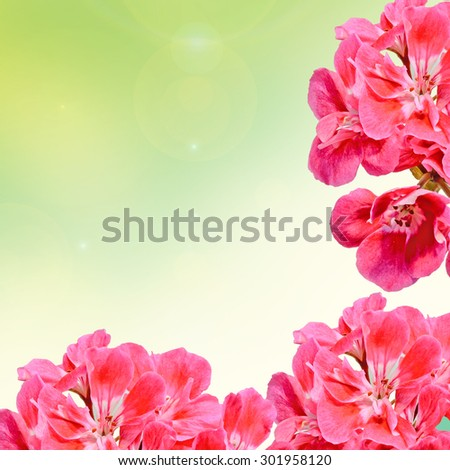 Red Pelargonium, Geraniums flowers, close up, gradient background.