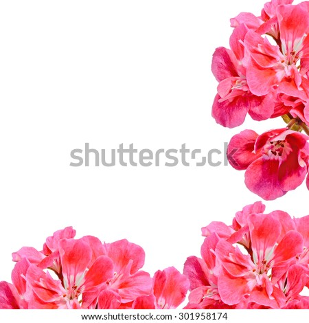 Red Pelargonium, Geraniums flowers, close up, white background.