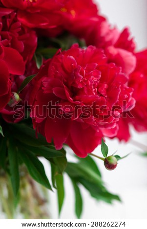 Red peony closeup on white background