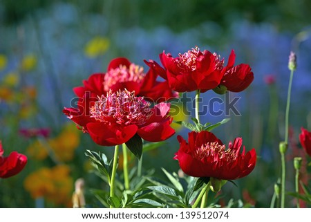 Red peony in summer garden - stock photo
