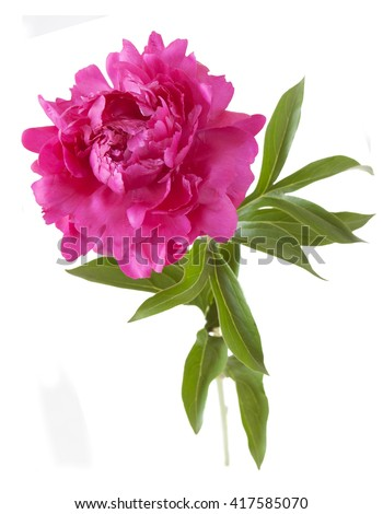 Red peony isolated on white background - stock photo
