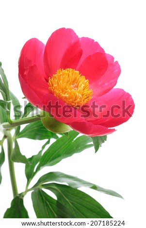 Red peony on white background  - stock photo