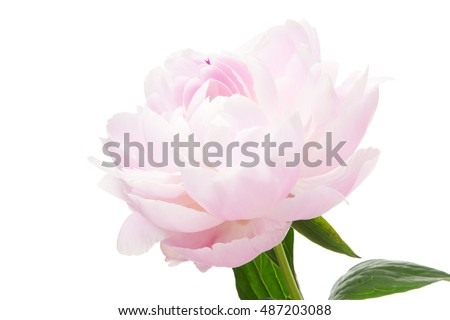 Red peony on white background