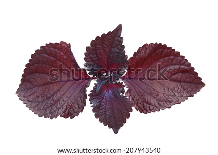 Red perilla mint isolated on white background - stock photo