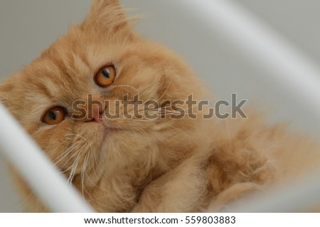 Red Persian cat on stairs