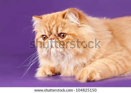 Red Persian kitten on violet background - stock photo