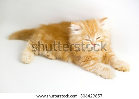 red persian kitten on white background