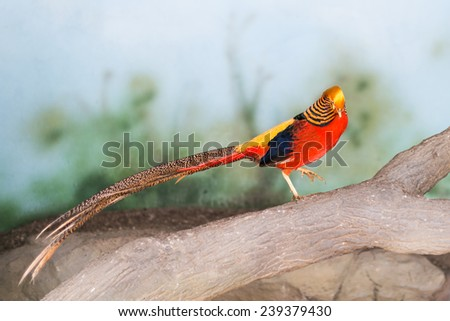 Red Pheasant at the zoo - stock photo