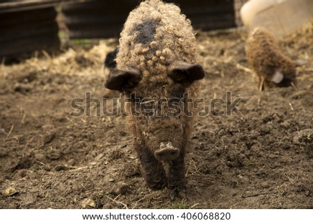 red pig - stock photo