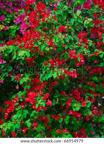 Red Pink blooming bougainvilleas with green foliage. Background. - stock photo