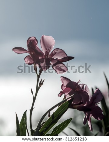 Red Pink  colors  flower silhouette in blue sky - stock photo