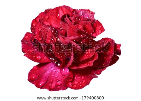 Red pink flower with rose (closeup)