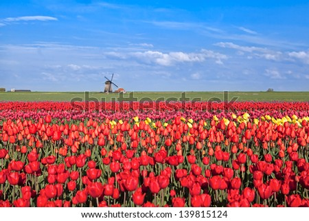 red, pink, yellow tulip fields and  Dutch windmil, Alkmaar, North Hollandl - stock photo