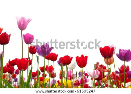 Red, pink, yellow, white, and purple tulips rise up against a white background.