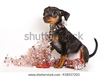 Red Pinscher puppy and New Year (isolated on white)