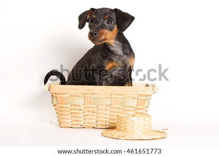 Red Pinscher puppy and shopping cart (isolated on white)