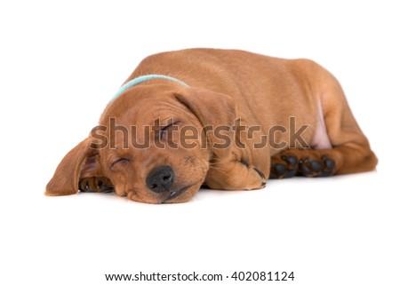 red pinscher puppy sleeping - stock photo