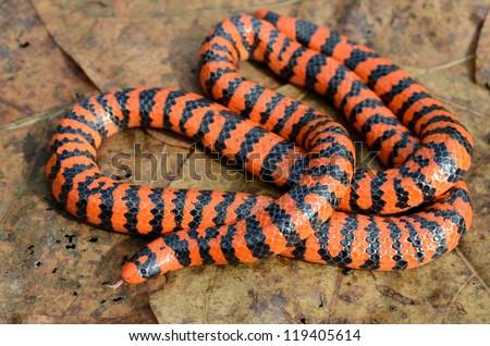 Red pipesnake (Anilius scytale) - stock photo