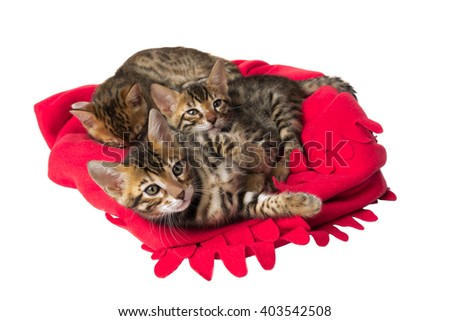 red plaid Bengal cats kittens playing - stock photo