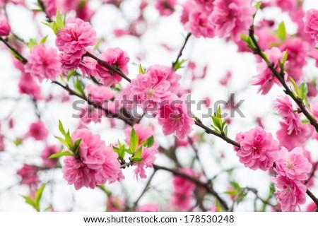 red plum blossom - stock photo