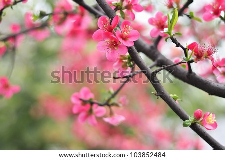 red Plum blossoms - stock photo