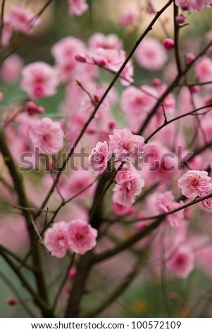 red plum flower