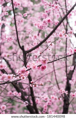 red plum flower,outdoor