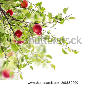Red Plum on branch , isolated on white background - stock photo