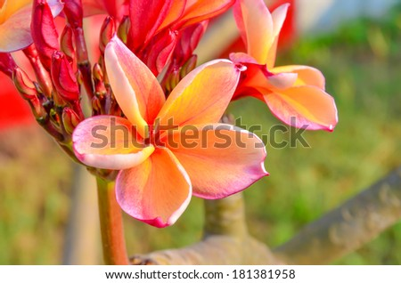 Red Plumeria flower