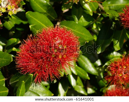 Red pohutukawa flower on bush. - stock photo