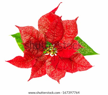 red poinsettia blossom. christmas flower with golden decoration isolated on white background - stock photo