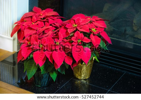 Red Poinsettia (Euphorbia pulcherrima), aka Christmas Star flower, in flowerpots by a fireplace