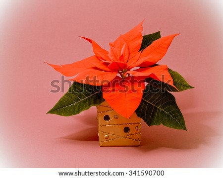 Red poinsettia flower - stock photo