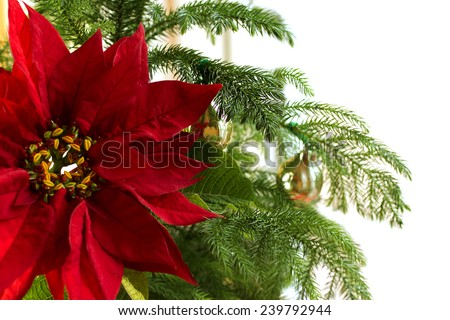 Red Poinsettia flower; Christmas decorations; Christmas tree branch with red poinsettia flower, gold cones  isolated on white background - stock photo