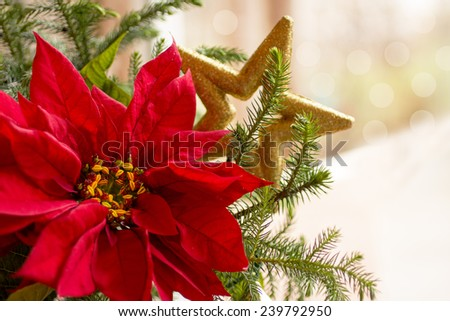 Red Poinsettia flower; Christmas decorations; Christmas tree branch with red poinsettia flower; gold star on gold white background - stock photo