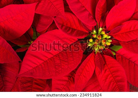 Red poinsettia flower (Euphorbia pulcherrima), aka Christmas Star, closeup - stock photo