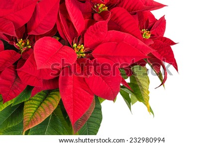 Red poinsettia flower (Euphorbia pulcherrima), copy space - stock photo