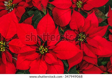 Red Poinsettia Flower, Euphorbia Pulcherrima, Nochebuena - stock photo