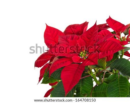 Red poinsettia flower (Euphorbia pulcherrima) over white, copy space - stock photo