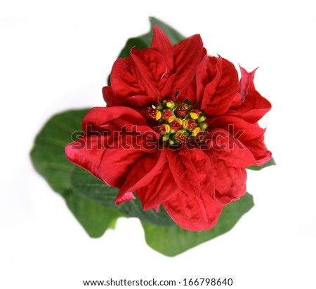 Red poinsettia flower isolated  - stock photo