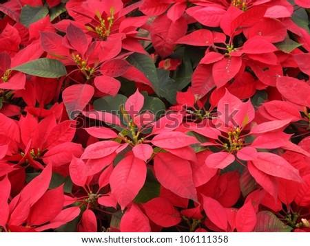 red Poinsettia flower or Chrismas flower for background. - stock photo